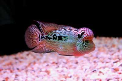 Cá la hán thái đỏ nhiều kích thước