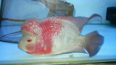 La Hán Thái Đỏ Bon Sai size 2.5 - 3 Ngón