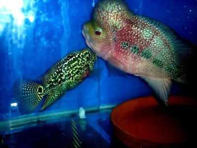 Cá la hán bột cực đẹp giá mềm