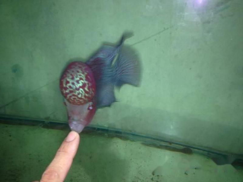 cá la hán thái đỏ châu sợi full đầu