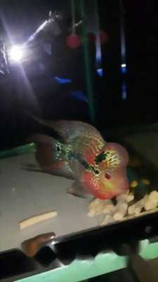 Cá la hán magma ngũ sắc