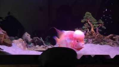 Cá la hán mỹ hầu vương