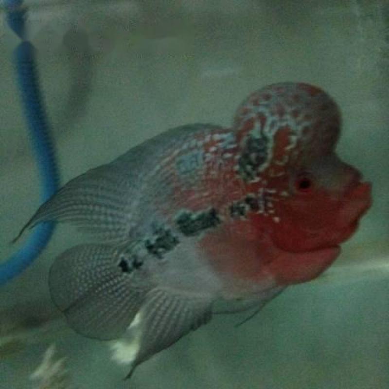 Cá la hán thái châu đỏ