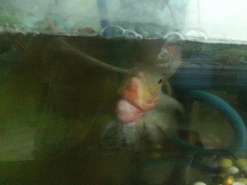 Cá la hán giống lai Thái như hình