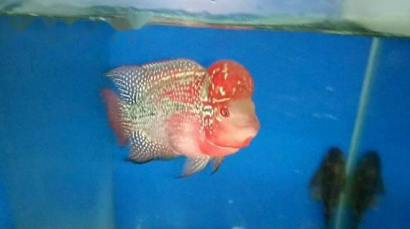 Q6: Cá la hán red big head, size 2n