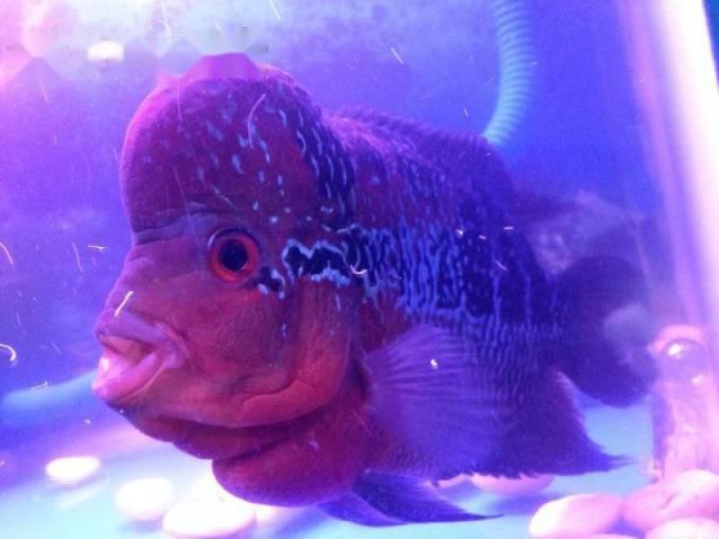 Cá La Hán -Thái Đỏ Châu