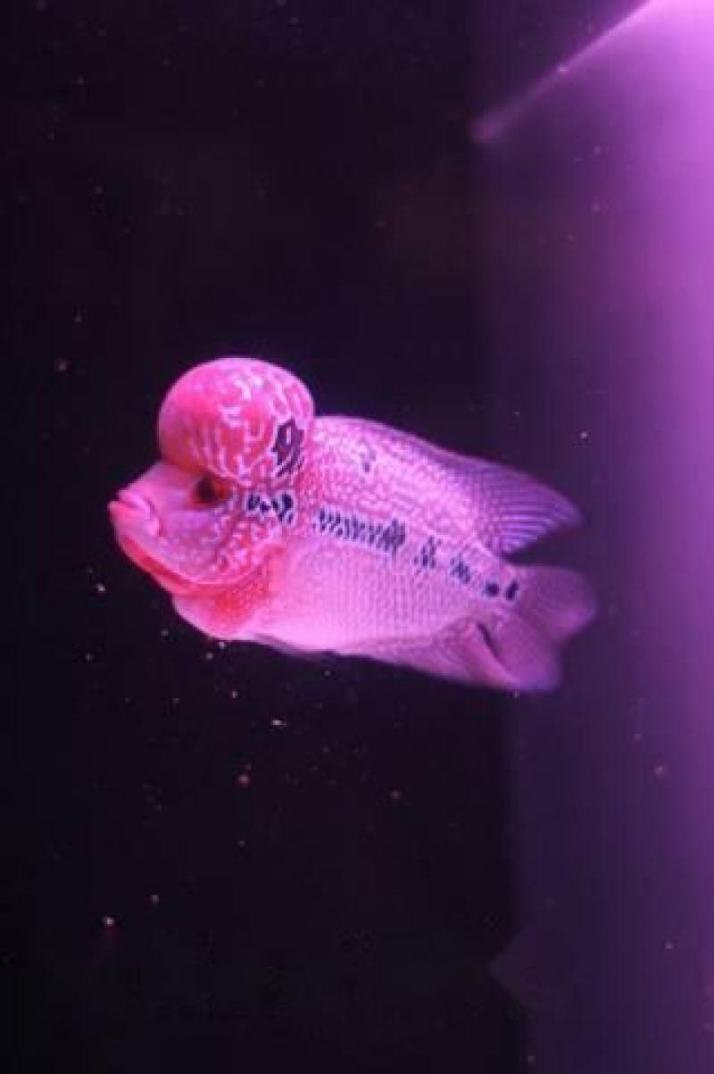 Cá La Hán Thái Đỏ Châu 2 ngón