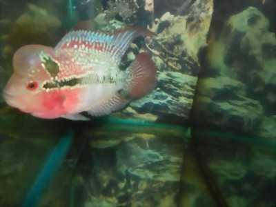 cá la hán thái đỏ châu size 1, 5 ngón tay