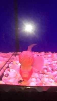 Cá La Hán Thái Đỏ Châu KOF