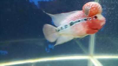 Cá la hán thái châu