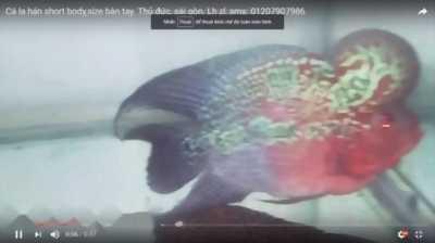 Cá la hán shortbody,  đỏ 2/3 người, châu leo đầu.