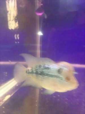 Cá la hán kim cương xanh