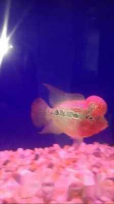 Cá La Hán Thái Đỏ Châu 126
