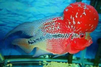 Bán rẻ cá La Hán