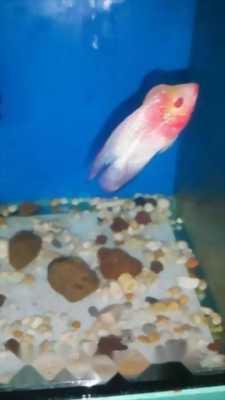 Bán cá La Hán Thái đỏ châu 1