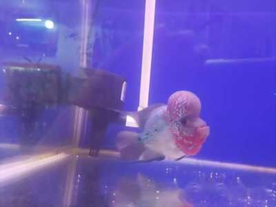 Bán con cá La Hán kinh mắt ma