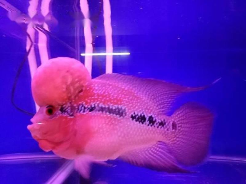 Bán cá La Hán Thái đỏ,  size 4 ngón