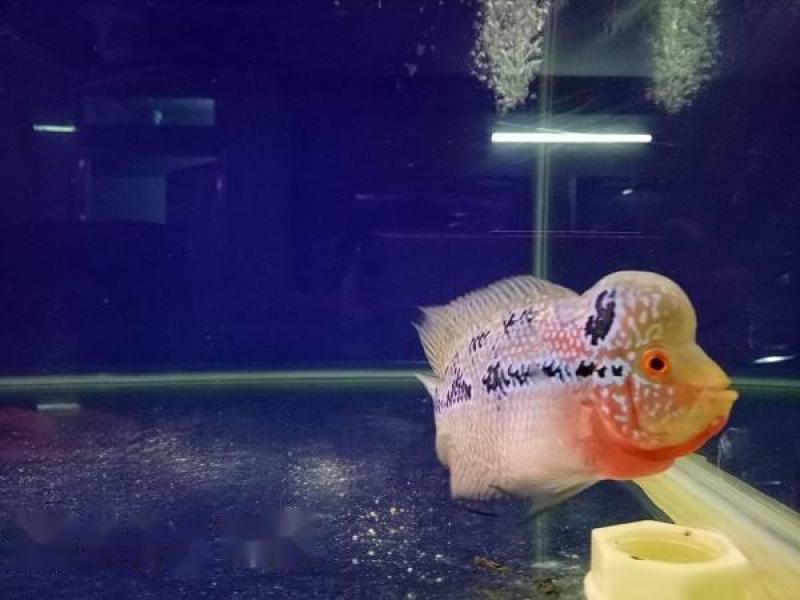 Bán cá La Hán Thái đỏ xanh,  châu sáng,  đầu to