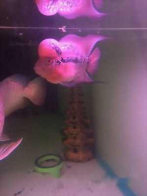 Mình cần bán cá La Hán