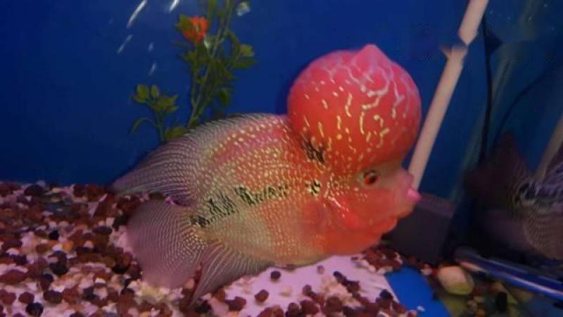 Cần bán cá La Hán Thái size 3n5