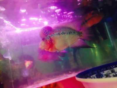 Cần bán cá La Hán 4n