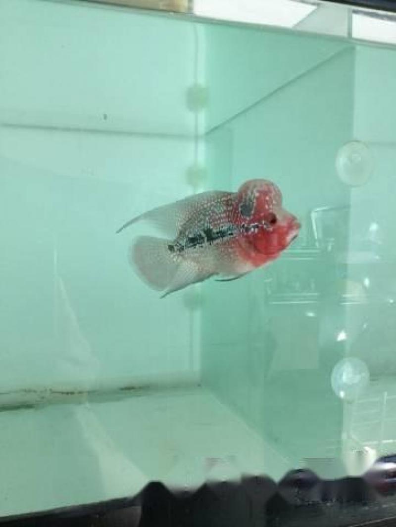 Bán cá La Hán tuyển