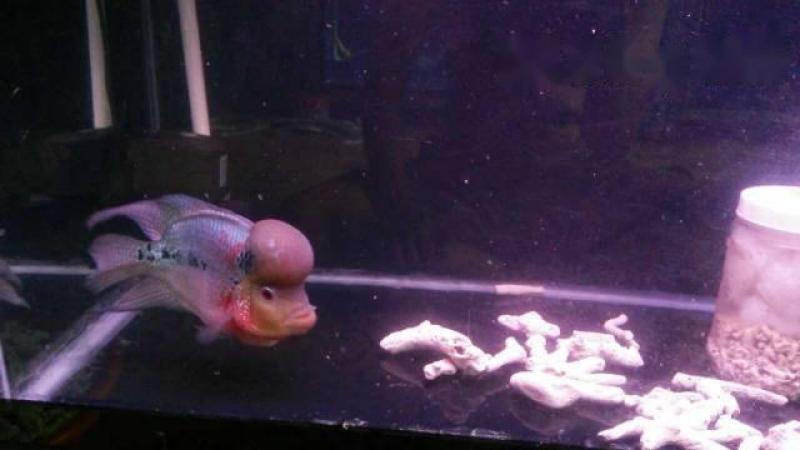 Bán cá La Hán size 4 ngón