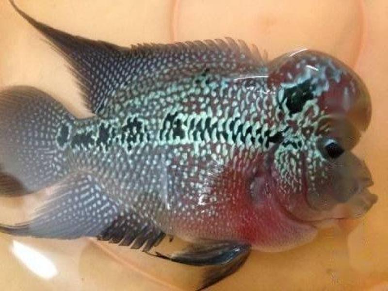 Bán cá La Hán và dĩa