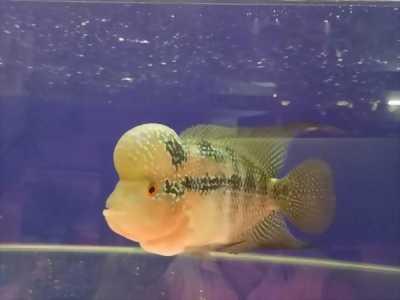 Cần bán cá La Hán thái đỏ