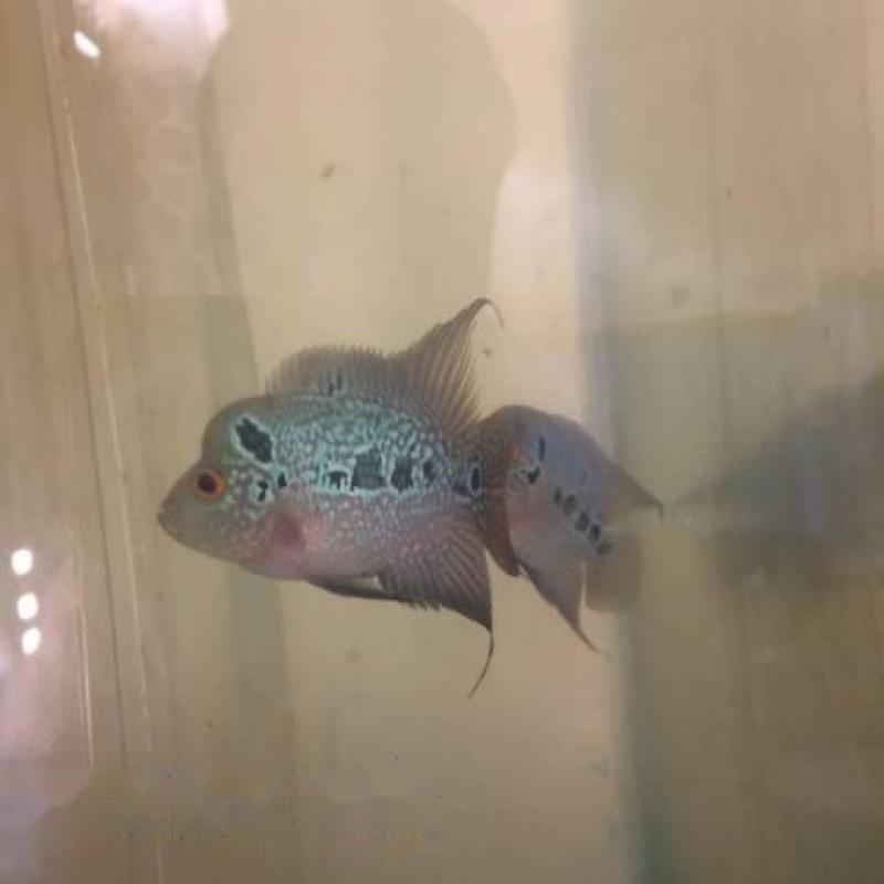 Cần ban cá La Hán