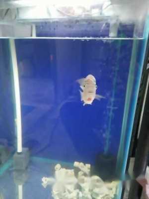 Cá La Hán King Thái mắt trắng giá rẻ