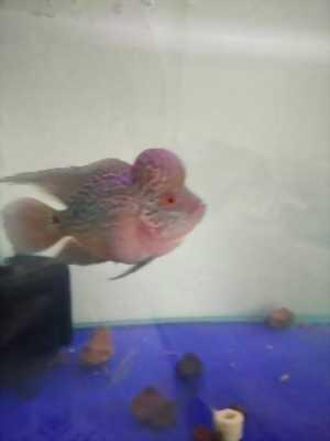 Cá la hán châu Thái dáng vuông giá rẻ