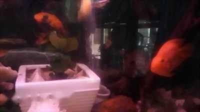 Bán cá La Hán red magma + hồng két