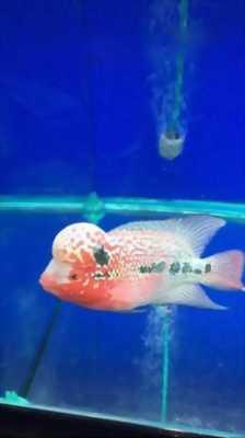 Bán cá la hán đỏ châu 8cm
