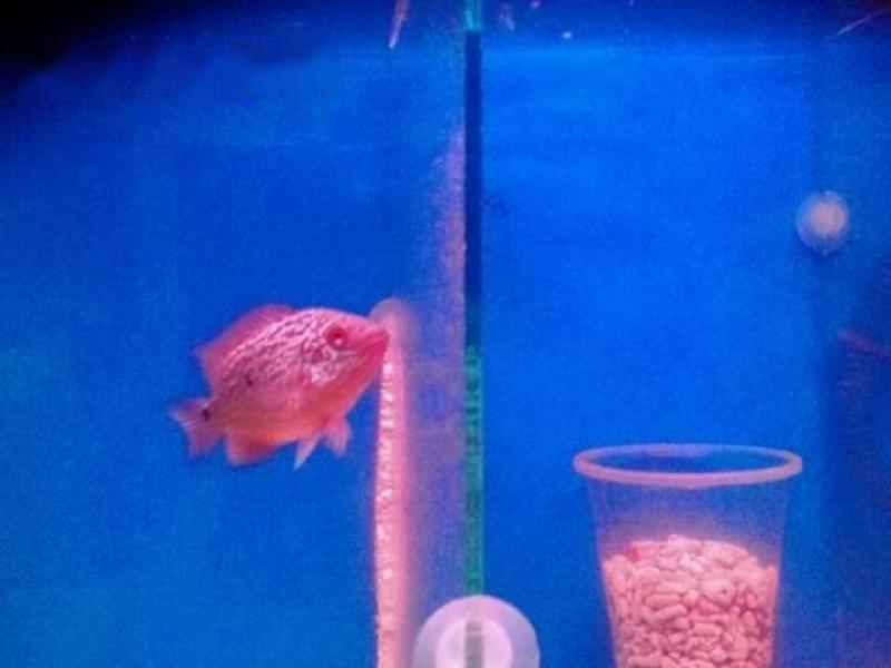 Bán cá La Hán size 1 ngón