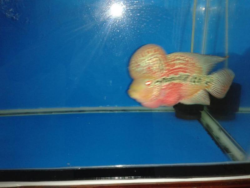 Cá La Hán Thái đỏ full 85%