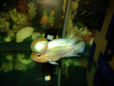Bán cá La Hán Silk 2 ngón 5