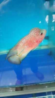 Cần bán cá La Hán Redkamfa cá Thái