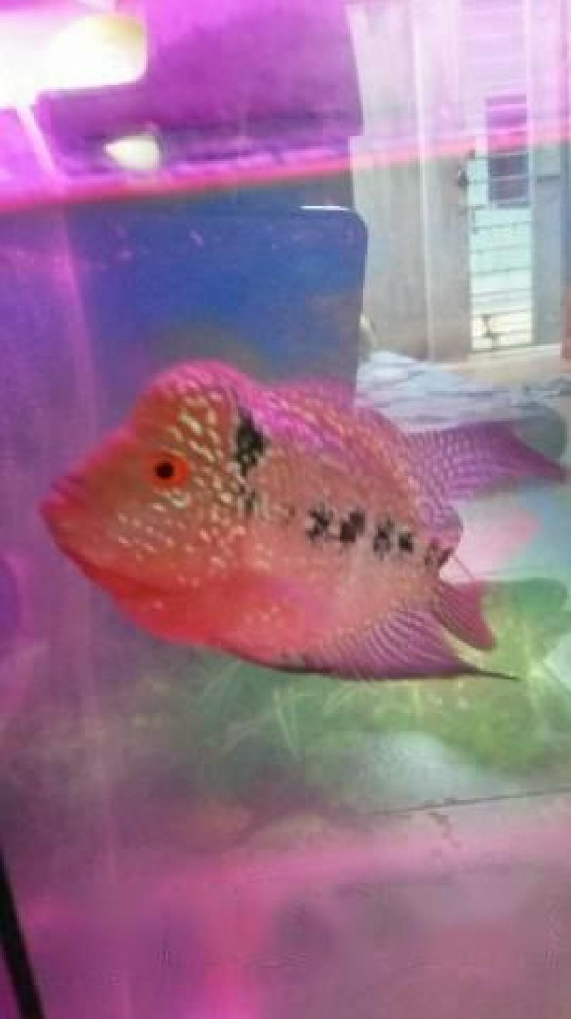 Cá La Hán cần bán