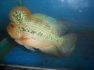 Cần bán cá La Hán size 3, 5 ngón tay