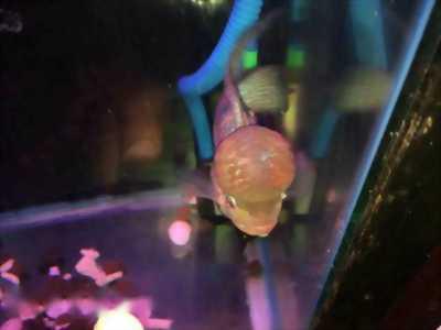 Bán nhanh cá La Hán châu