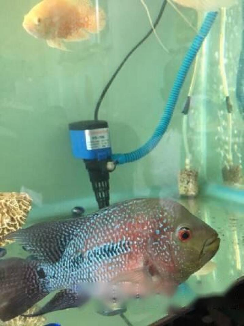 Bán cá La Hán mái size 4 ngón
