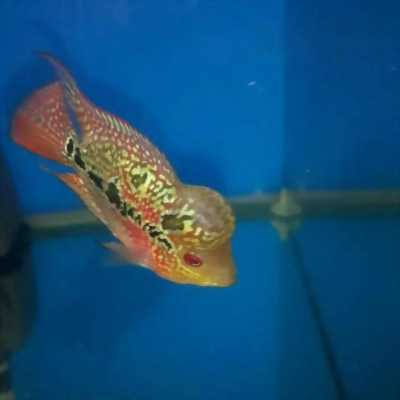 Bán cá La Hán Magma ngũ sắc