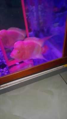 Cần bán cá La Hán lột đỏ trắng