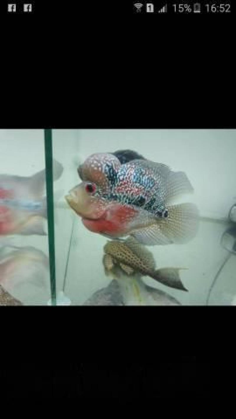 Cá la hán đỏ châu short đầu 1 cục