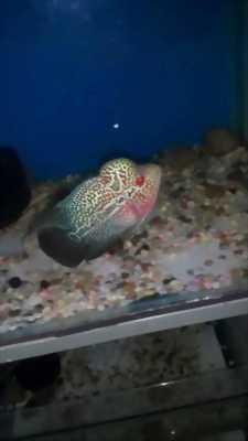 Cần bán cá La Hán red Tiger Thái nhập