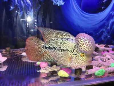 Bán cá La Hán dòng kinh size 4, 5 ngón
