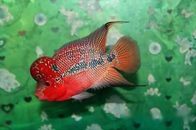 Bán cá La Hán 1 ngón và 2 ngón