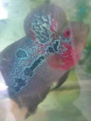 Bán cá La Hán đầu thọ