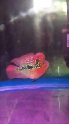 Cá la hán SRD đỏ huyết châu bonsai 239
